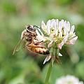 Honeybee On Clover by Lucinda VanVleck