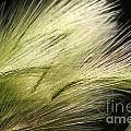 Hordeum Jubatum Grass by J McCombie