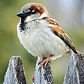 House Sparrow by David G Paul