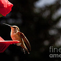 Hummingbird At Feeder by Cindy Singleton