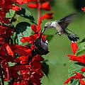 Hummingbird by David Lester