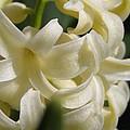 Hyacinth Named City Of Haarlem by J McCombie