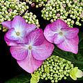 Hydrangea by Dave Mills