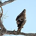 Immature Bald Eagle by Lori Tordsen