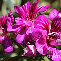 Ivy Geranium Named Contessa Purple Bicolor by J McCombie