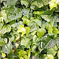 Ivy by Les Cunliffe