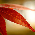Japanese Maple Leaf by Kelly Nowak