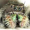 Jumping Spider by Paul Fell