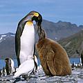 King Penguins Aptenodytes Patagonicus by Hans Reinhard