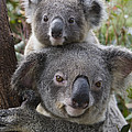 Koala Mother And Joey Australia by Suzi Eszterhas