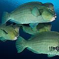 Large School Of Bumphead Parrotfish by Steve Jones