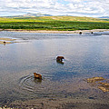 3-lay Of Land Grizzly Bears In Moraine River In Katmai National Preserve-ak by Ruth Hager