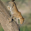 Leopard Panthera Pardus On Tree, Ndutu by Panoramic Images