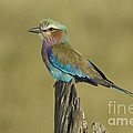 Lilac-breasted Roller by John Shaw