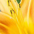 Lily by Daniel Csoka