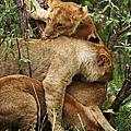 Lion Cubs On The Masai Mara  by Aidan Moran