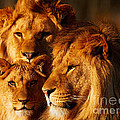 Lion Family Close Together by Nick  Biemans