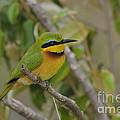 Little Bee-eater by John Shaw