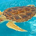 Loggerhead Sea Turtle by Millard H. Sharp