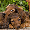 Long-haired Dachshunds by Jean-Michel Labat