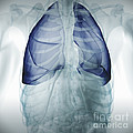 Lungs Within The Chest by Science Picture Co