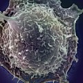 Lymphocyte by Ami Images/science Photo Library