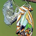 Malachite Butterfly Metamorphosis by Millard H. Sharp