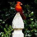 Male Cardinal by Robert L Jackson