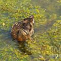 Mallard Ducks In Lily Lake by Fred Stearns