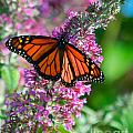 Monarch Butterfly by Mark Dodd