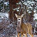 Mule Deer In Snow by Steve Krull