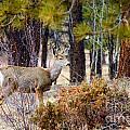 Mule Deer by Steve Krull