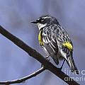 Myrtle Warbler by Ronald Grogan