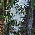 Night Blooming Cactus by Robert Floyd