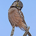 Northern Hawk Owl by John Vose