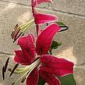 Orienpet Lily Named Scarlet Delight by J McCombie