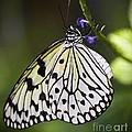 Paper Kite Butterfly by Brandon Alms