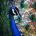 Peacock by Joyce Baldassarre