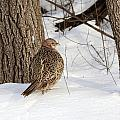 Pheasant by Lori Tordsen