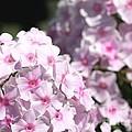 Phlox Paniculata Named Bright Eyes by J McCombie