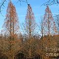 3 Pines by Michael Krek