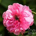 Pink Ranunculus by J McCombie