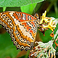 Plain Tiger Butterfly by Millard H. Sharp