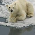 Polar Bear Resting On Ice by John Shaw