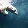 Polarbear In Water by Henrik Sorensen