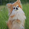 Pomeranian Dog by Rolf Kopfle