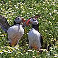 Puffins by Traci Law