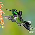 Purple-bibbed Whitetip Hummingbird by Anthony Mercieca