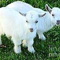 Pygmy Goat Twins by Thomas R Fletcher