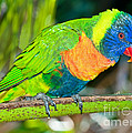 Rainbow Lorikeet by Millard H. Sharp